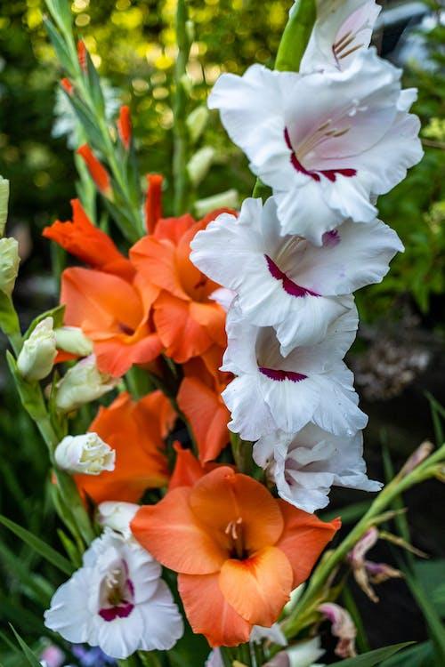 グラジオラス, フラワーズ, 夏の花の無料の写真素材