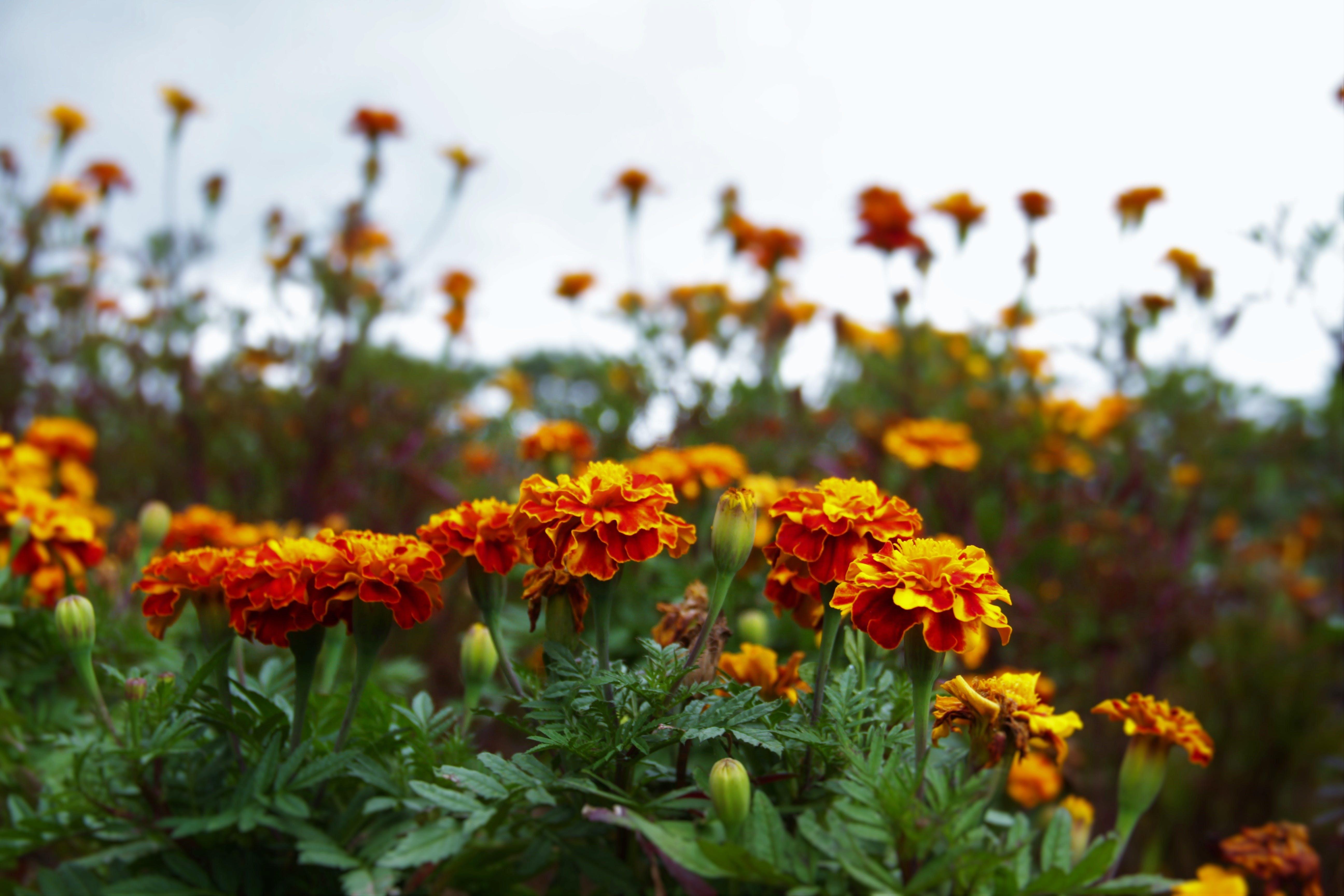 art, flowers, nature
