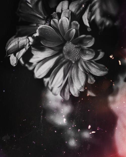Photos gratuites de fleur, flore, noir et blanc, photo ancienne