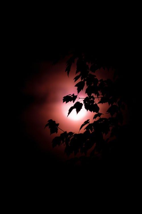 Безкоштовне стокове фото на тему «supermoon, кров'яний місяць, листя»