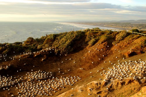 #muriwai gannet colony 的 免費圖庫相片