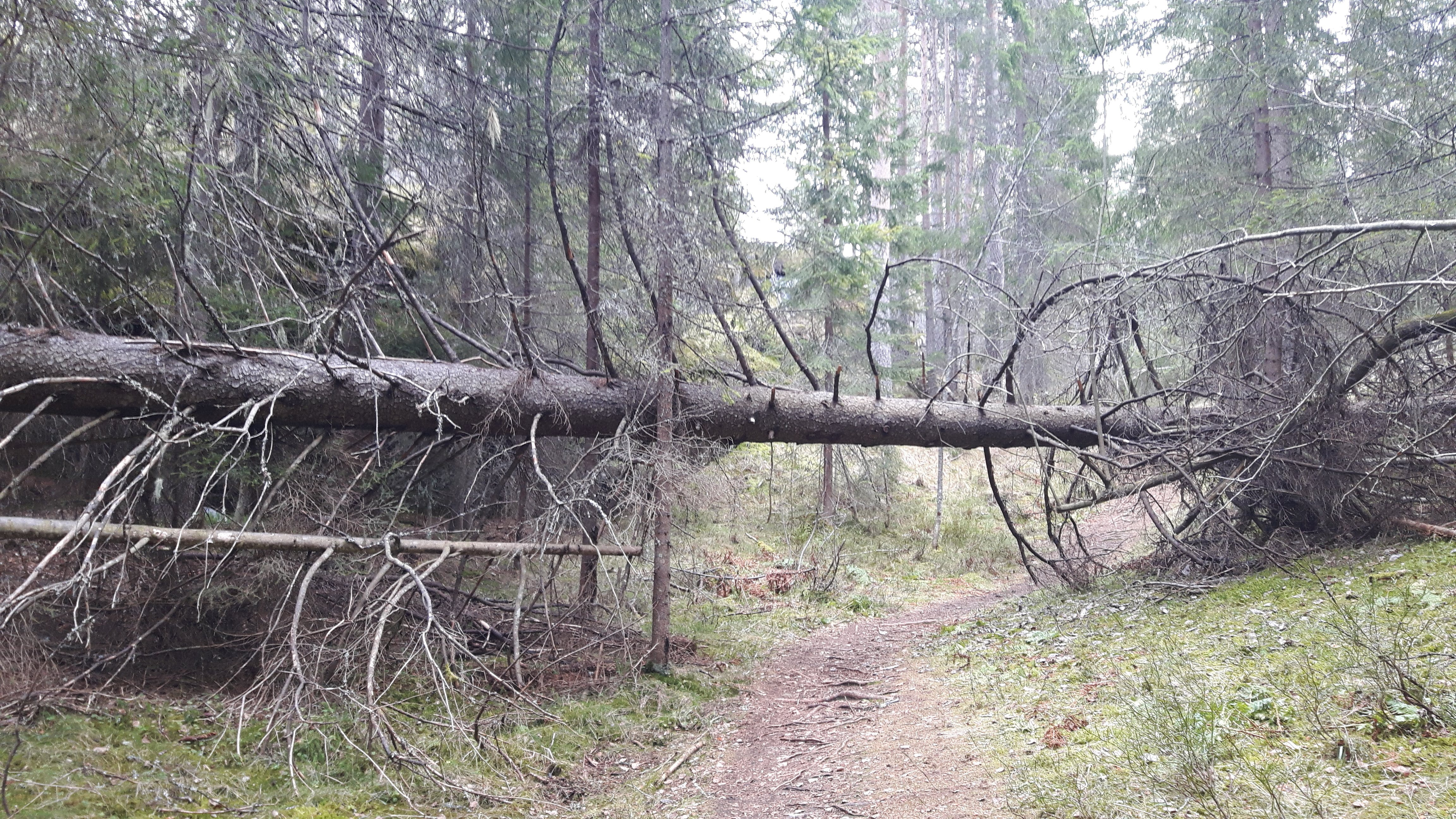 Free stock photo of fallen tree, forest, norway