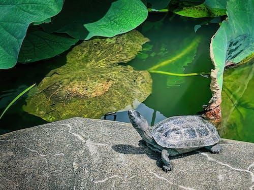 Darmowe zdjęcie z galerii z gad, japonia, japoński żółw błotny