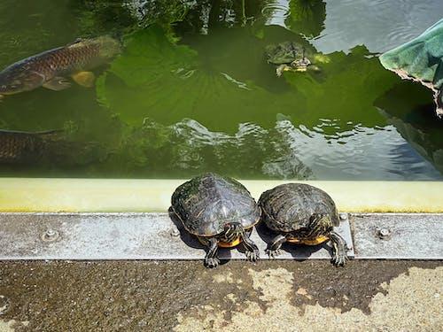 Darmowe zdjęcie z galerii z czerwonolicy żółwie suwakowe, japonia, miasto taito