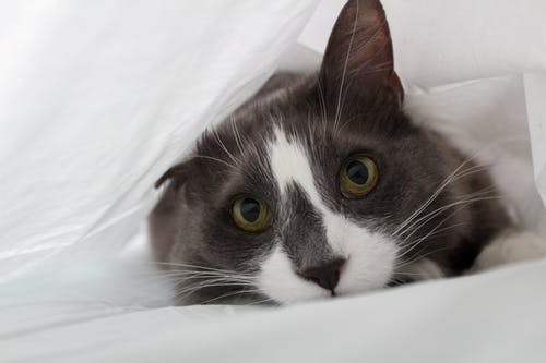 Close-Up Shot of a Tuxedo Cat Lying Down on a White Textile