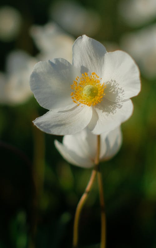 Close-Up Shot of a Japanese Anemone in Bloom
