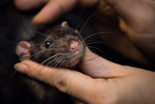 Close-Up Photo of Person Touching a Black Rat