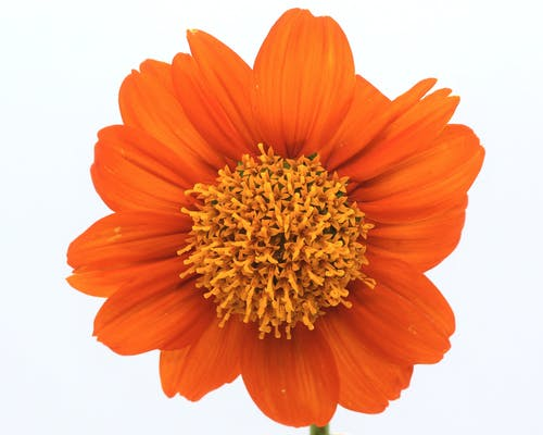 Free stock photo of beautiful flower, blooming flower, mexican sunflower
