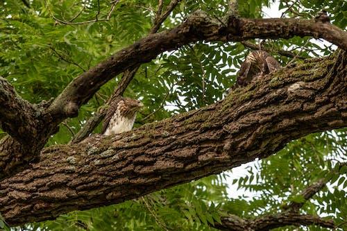 Hawks on a Tree Branch