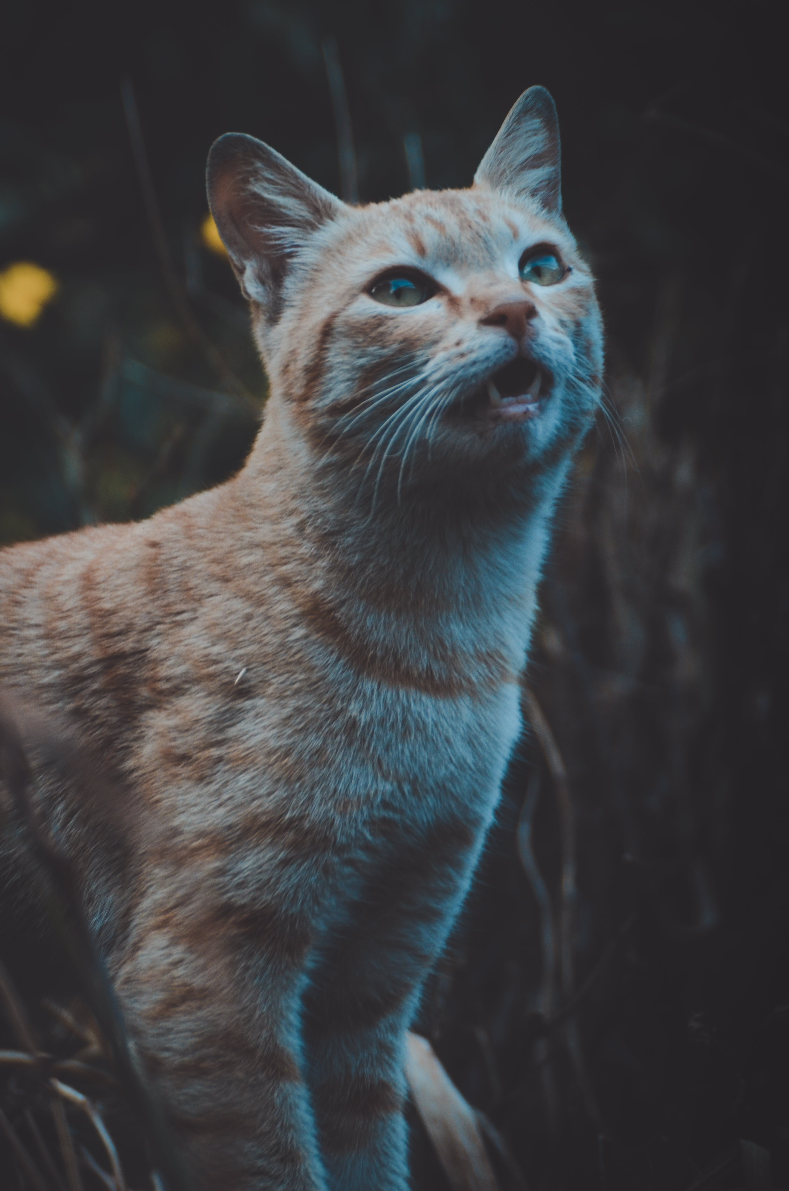 Short-coated Orange Tabby Cat