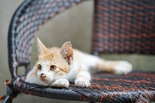 White and Orange Cat Lying on Brown and Black Textile