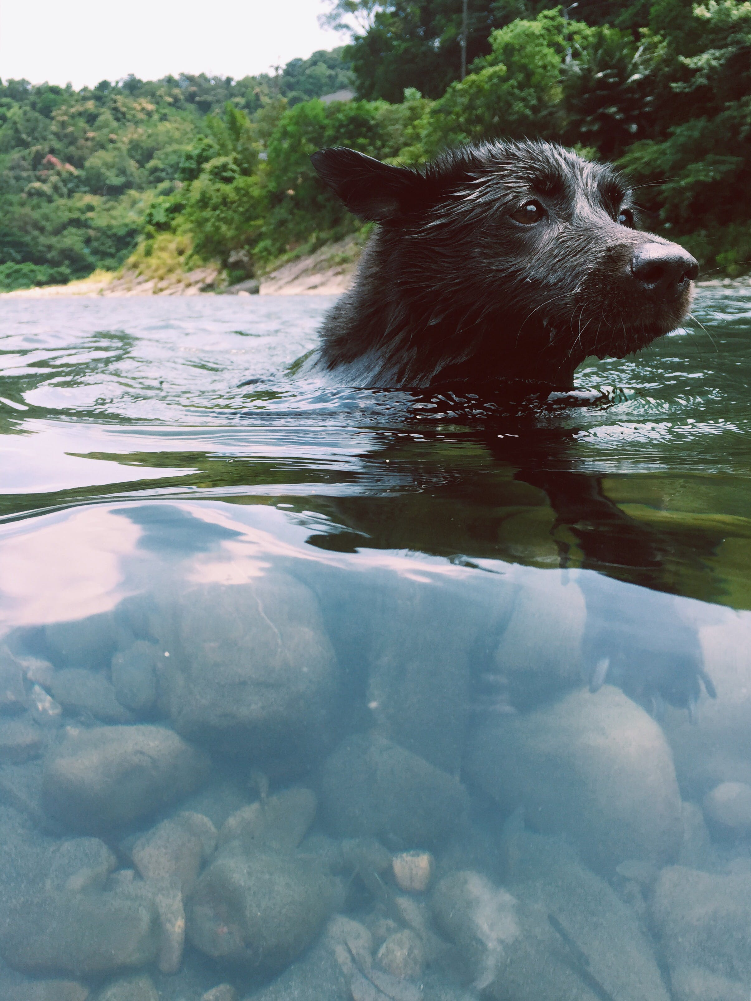 Short-coated Black Dog in Body of Water