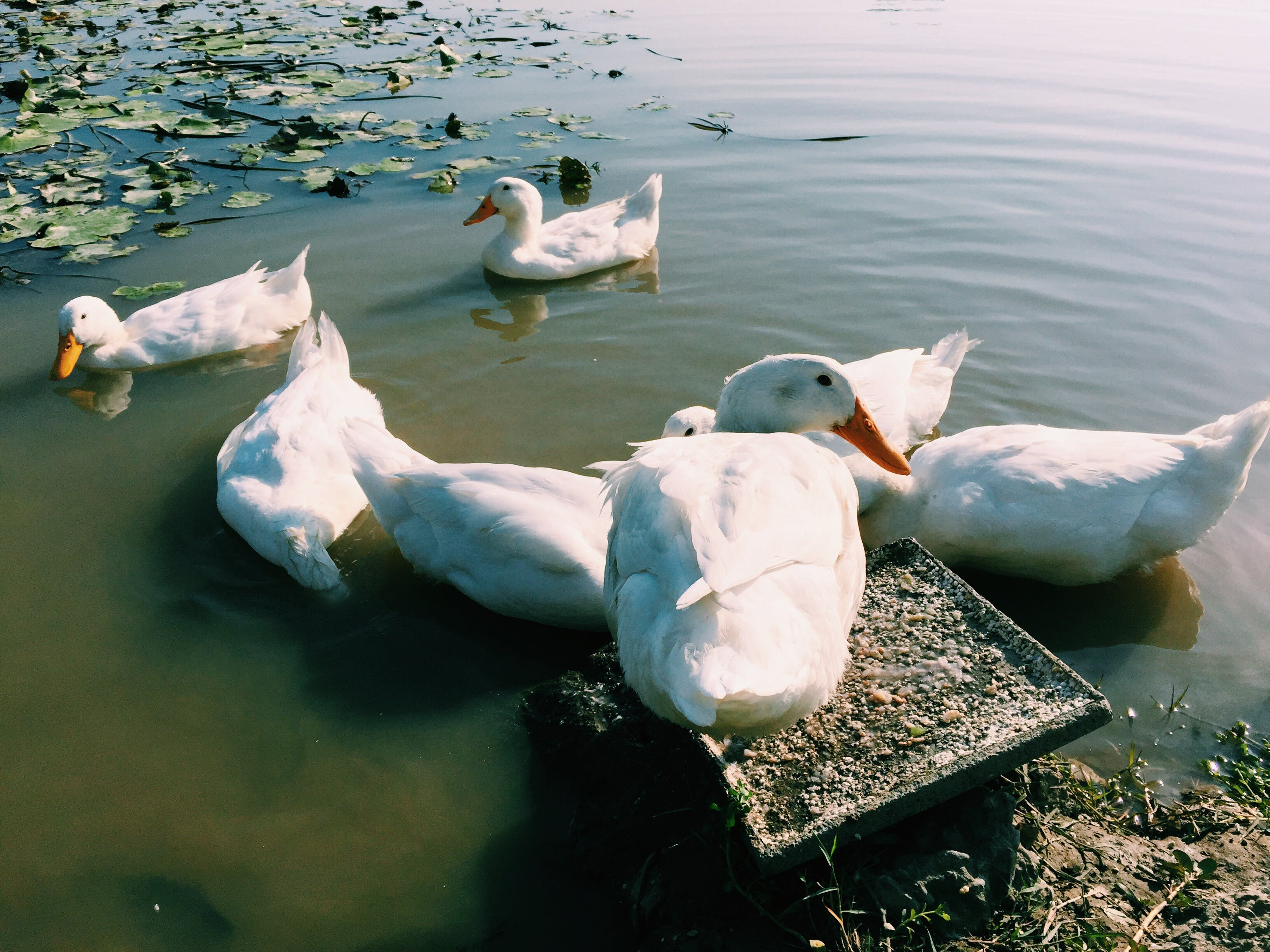 Free stock photo of #mobilechallenge, bath ducks, ducks, iphone 6 plus