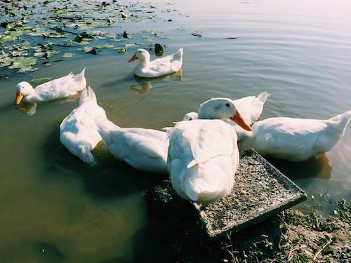 Darmowe zdjęcie z galerii z #mobilechallenge, biały, iphone 6 plus, kaczki
