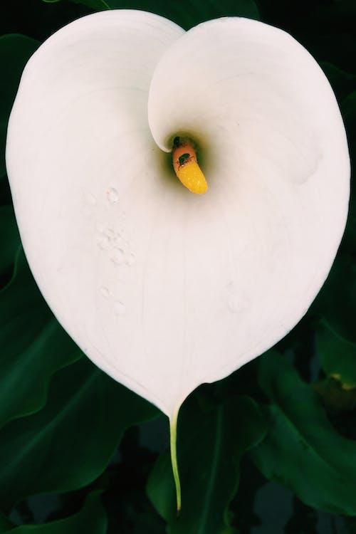Darmowe zdjęcie z galerii z #mobilechallenge, biały, iphone 6 plus, kwiat