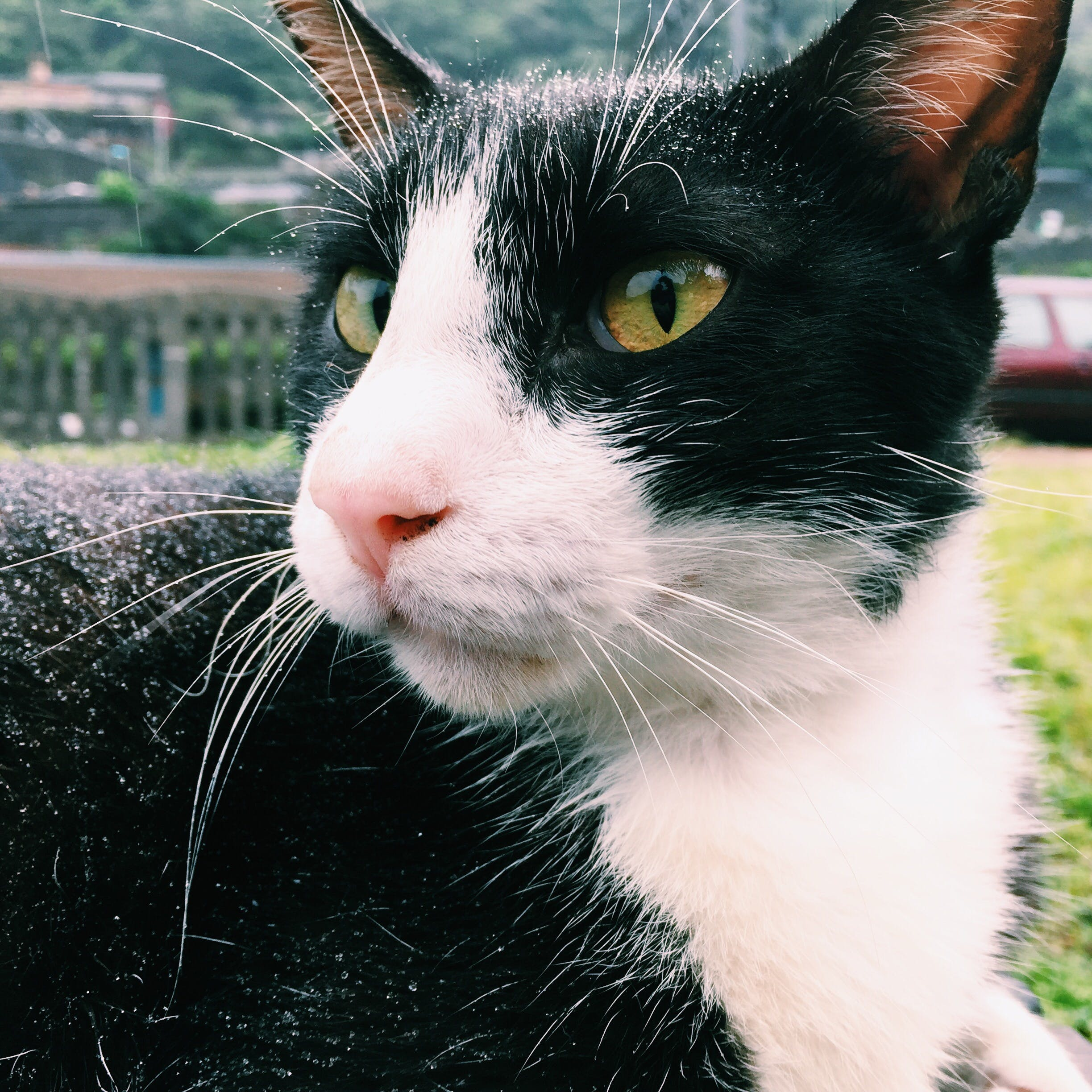 Close-up Photography of Tuxedo Cat