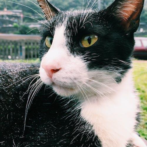 Darmowe zdjęcie z galerii z futrzany, koci, kot, kot domowy