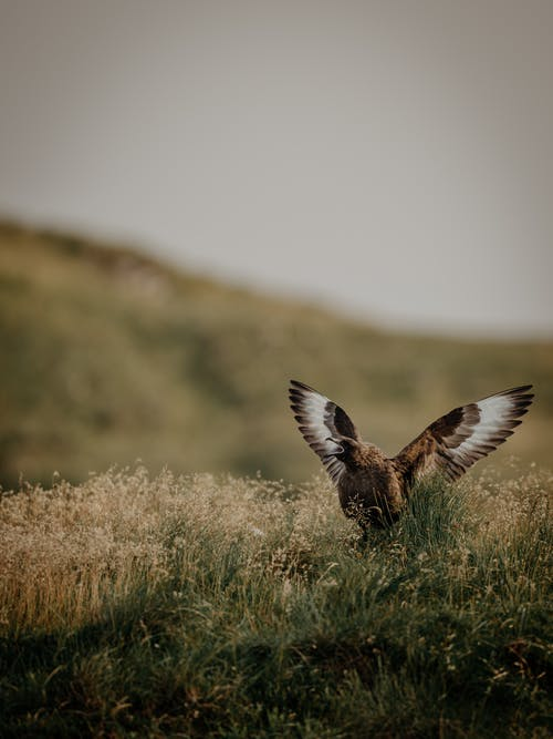 Brown and White Bird Flying over Brown Grass