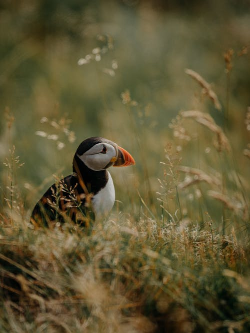 An Atlantic Puffin in the Wild
