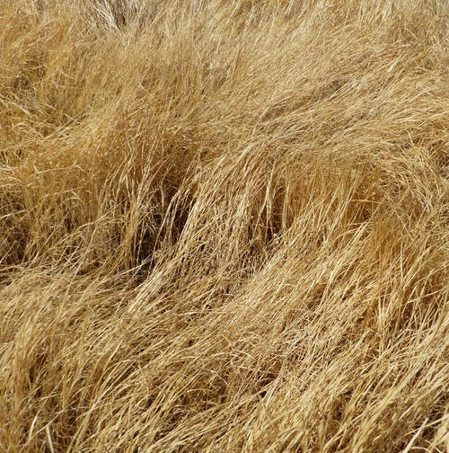 Free stock photo of dry, tall grass