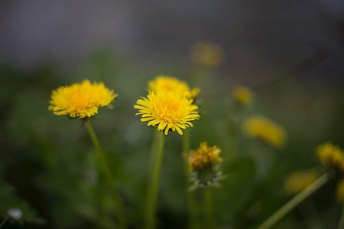 Foto stok gratis bunga-bunga, dandelion