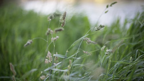 Free stock photo of grasses, windy
