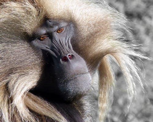 Free stock photo of ape, baboon