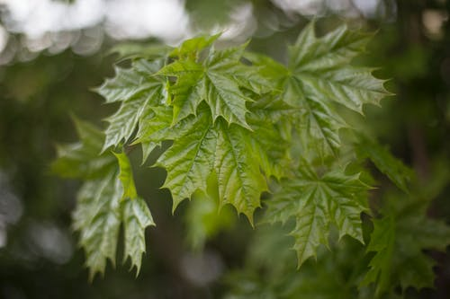 Free stock photo of green, leafs, maple