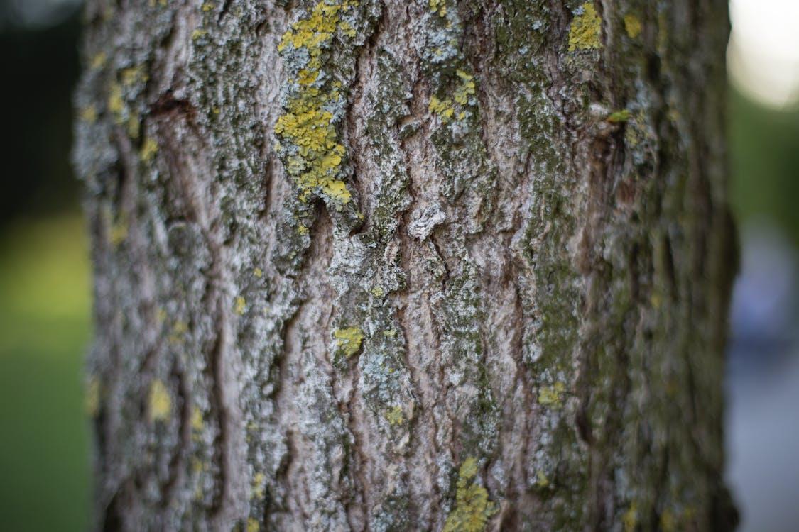 гавкіт, Деревина, дерево