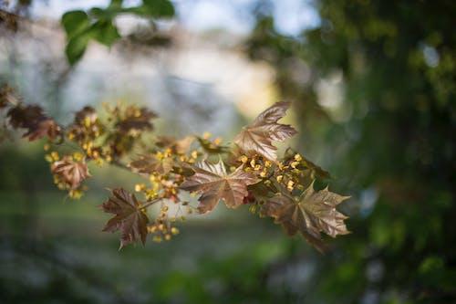 Fotobanka sbezplatnými fotkami na tému javorové listy, príroda, rastlina