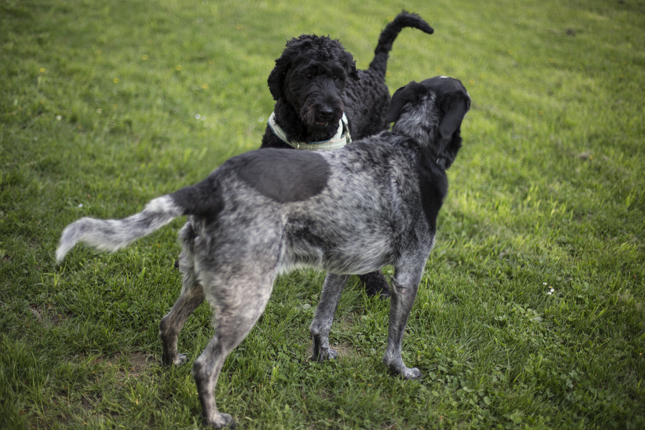 2 Black and Grey Dog on Grass Field during Daytime