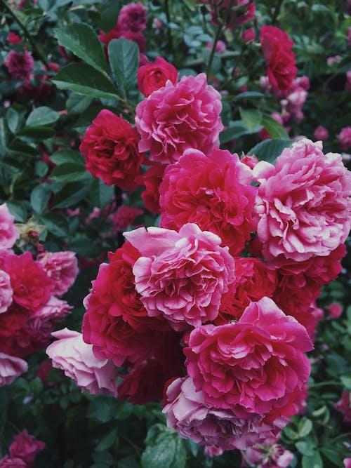 Beautiful Pink Flowers in Bloom