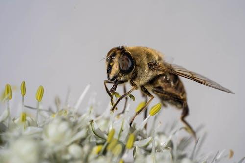 Безкоштовне стокове фото на тему «Бджола, екстремальний крупним планом, запилення»