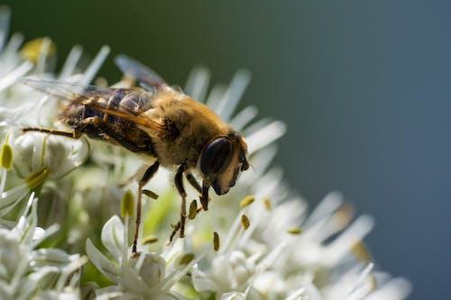 Безкоштовне стокове фото на тему «Бджола, великий план, екстремальний крупним планом»
