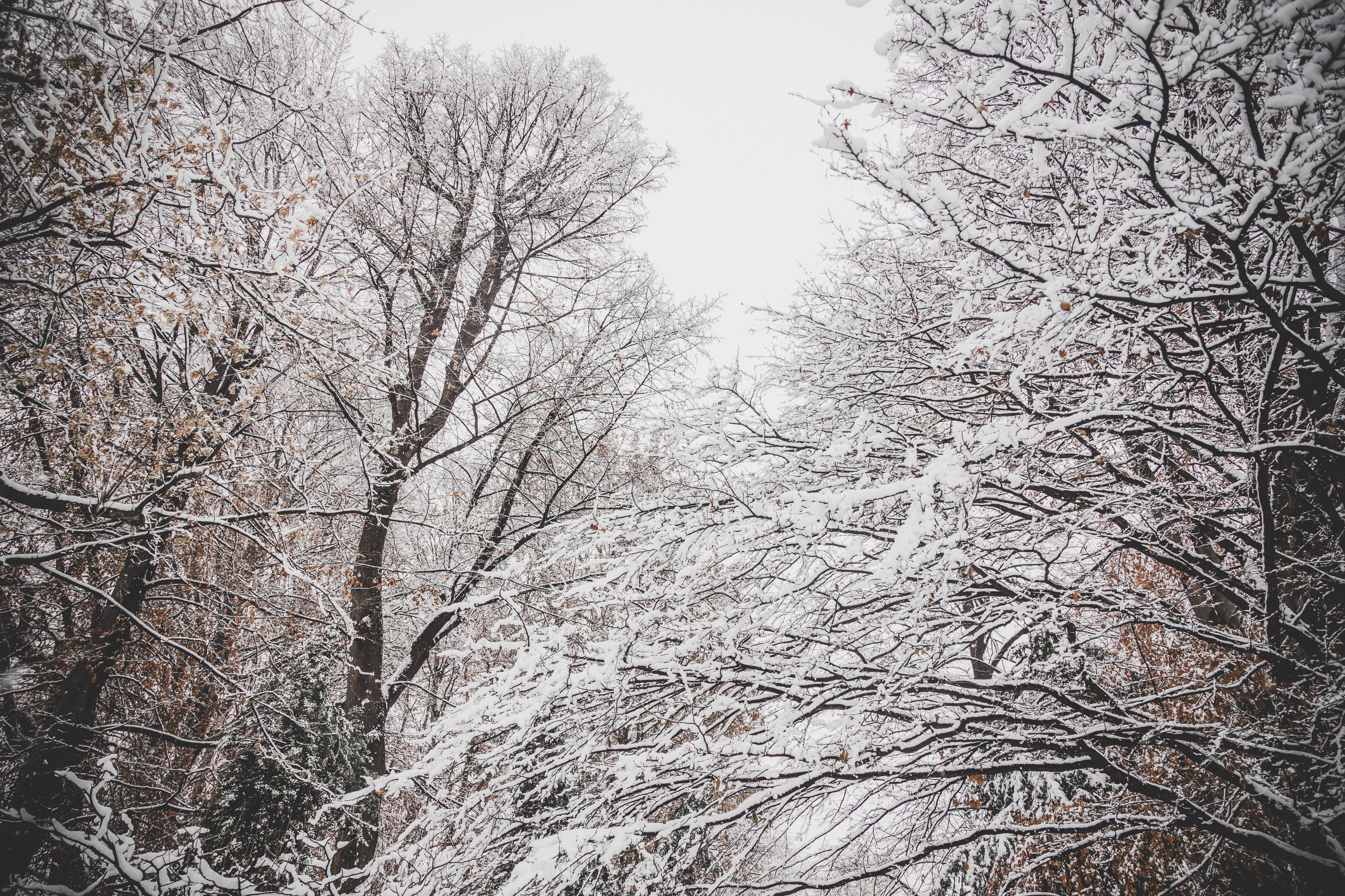 Snowy Leafless Trees