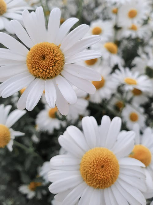 Close-Up Shot of White Daisies in Bloom