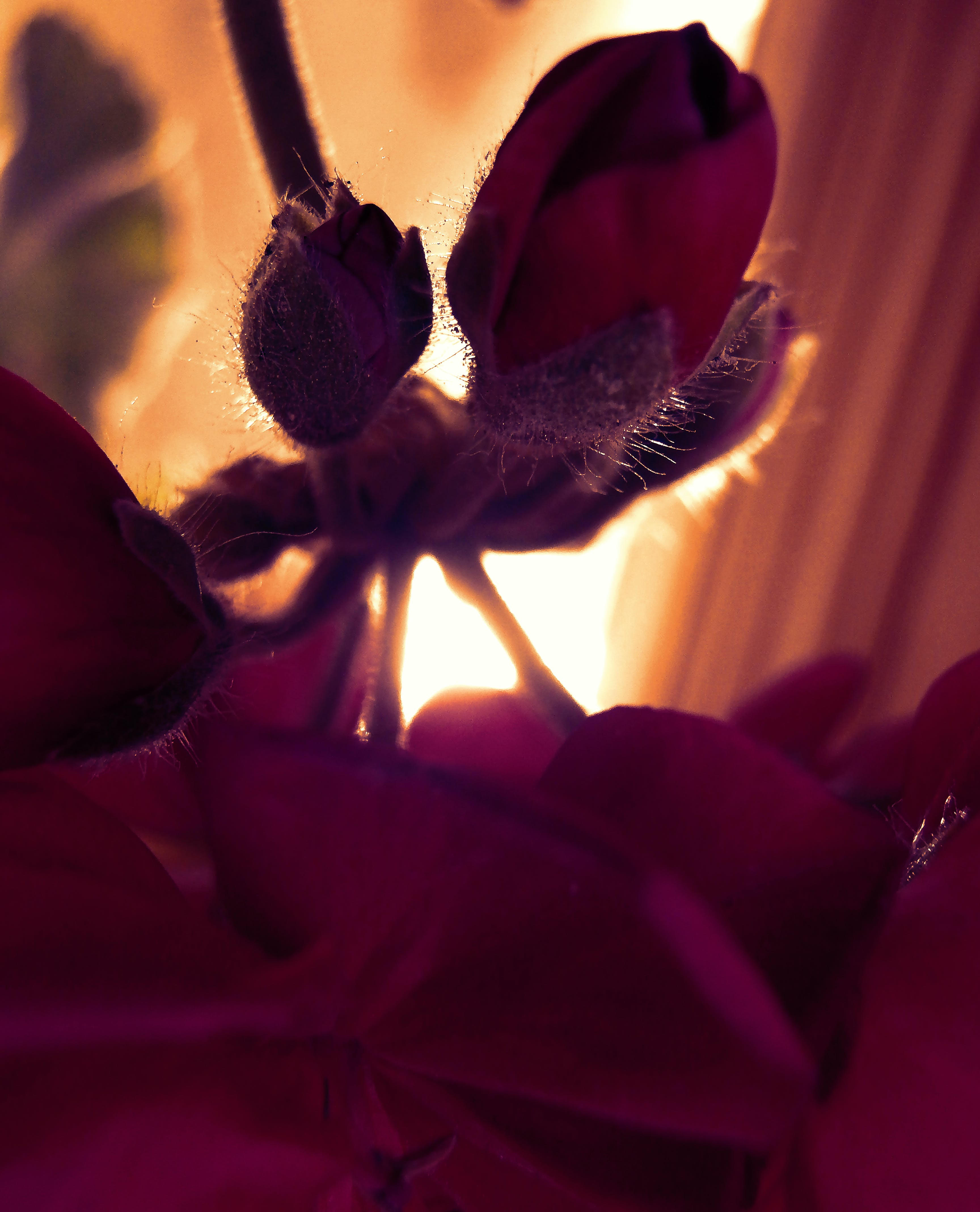 Free stock photo of bloom, perspective, Reds, rose