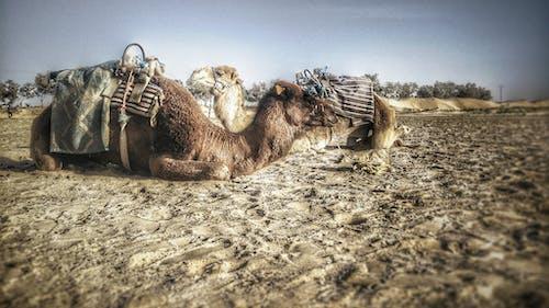 Kostnadsfri bild av #mobilechallenge, kameler, mobilutmaning, natur