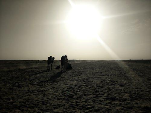 Kostnadsfri bild av #mobilechallenge, kamel, kameler, mobilutmaning