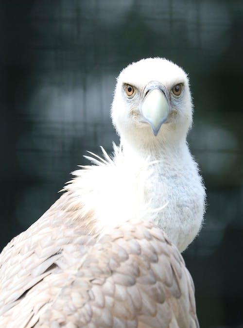 Close-up Shot of a Bald Eagle