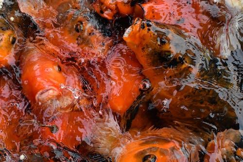 Základová fotografie zdarma na téma kapr, koi fish, mořské zvíře