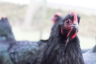 Close-up Photo of Ayam Cemani Chicken