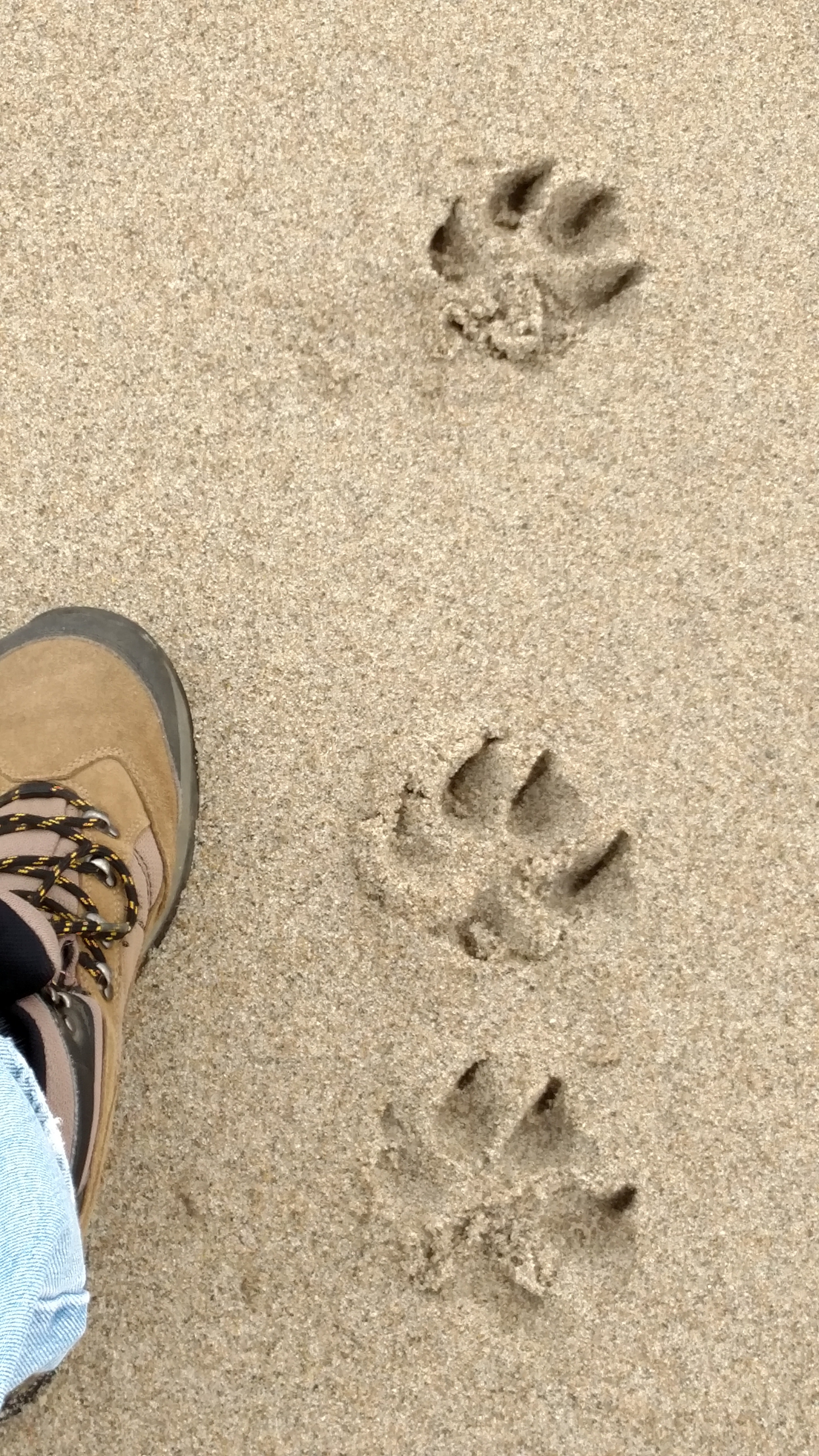 Free stock photo of Dog and Man Foot Prints on the Beach