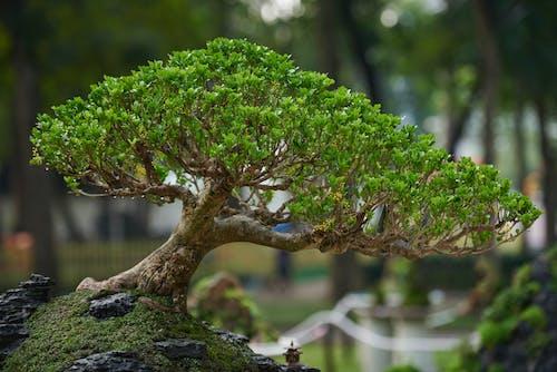 Ingyenes stockfotó ágak, bonsai, bonsai fa témában