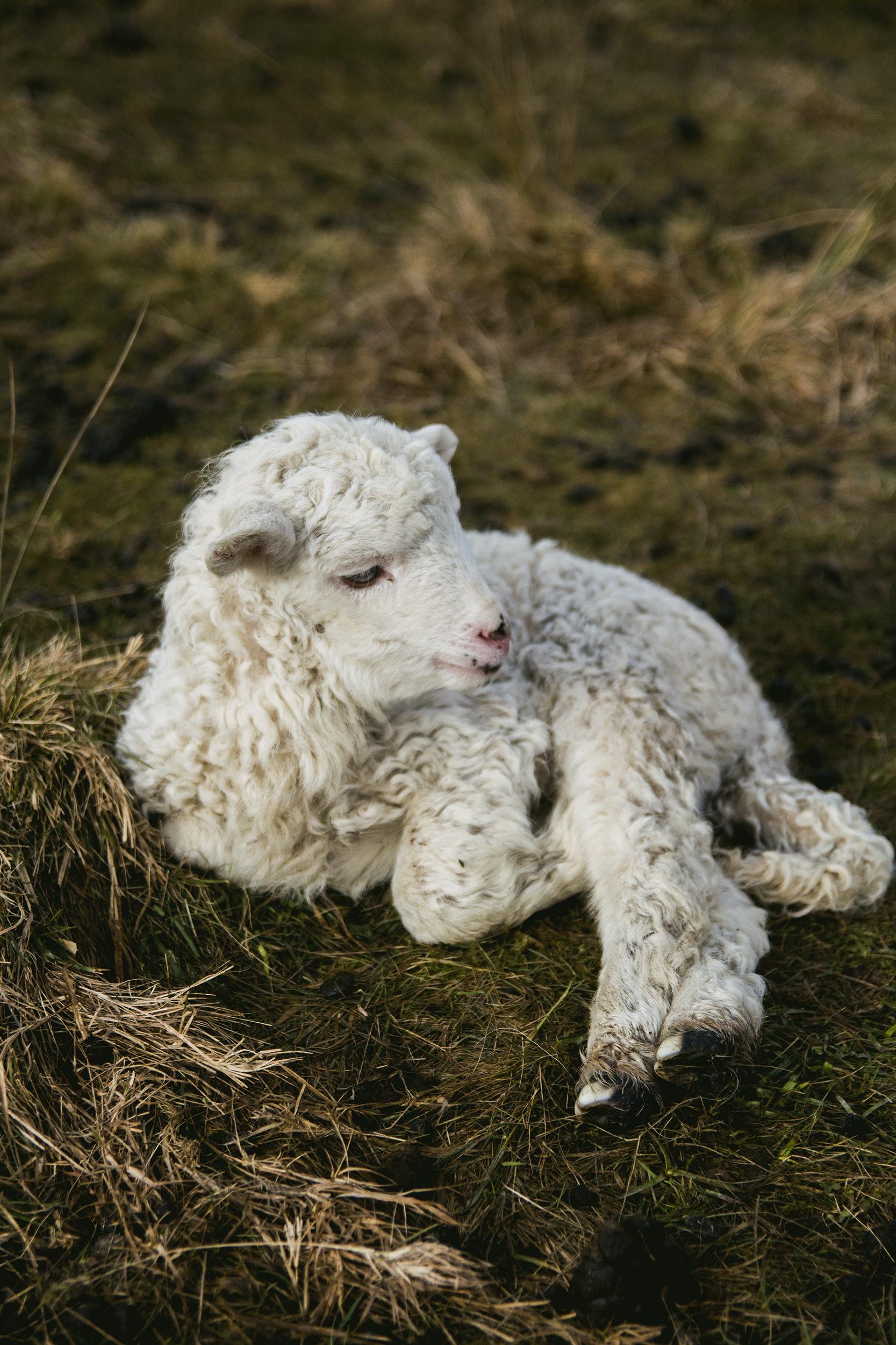 white lamb near fence  u00b7 free stock photo