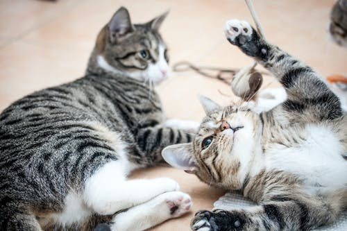Ingyenes stockfotó két macska, macskák, macskák játszanak, móka témában