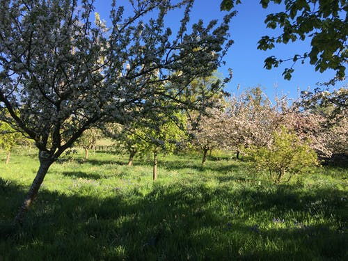 Free stock photo of Blossom in the apple orchard