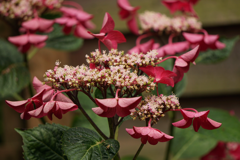 Free stock photo of beautiful flowers, pink flower