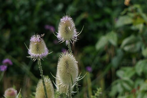 Free stock photo of thistle flower