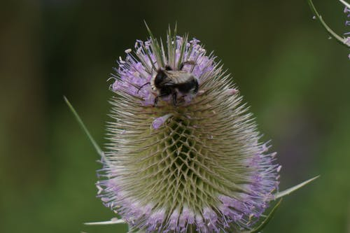 Free stock photo of insect on thistle, thistle